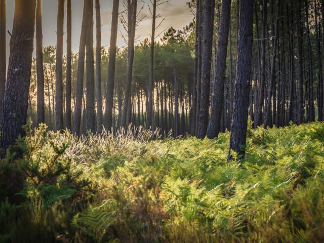 Forêt de pins dans les Landes