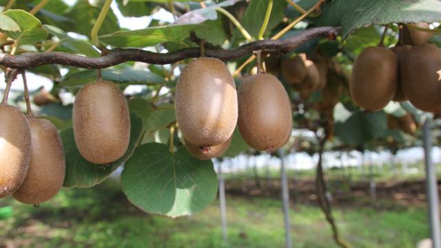 Kiwi Landais
