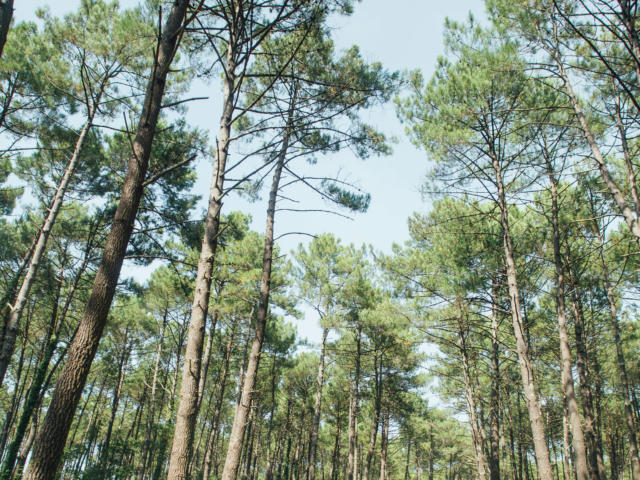 Piste cyclable dans la forêt landaise